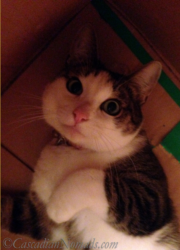 Cat Amelia gets comfortable inside her cardboard box
