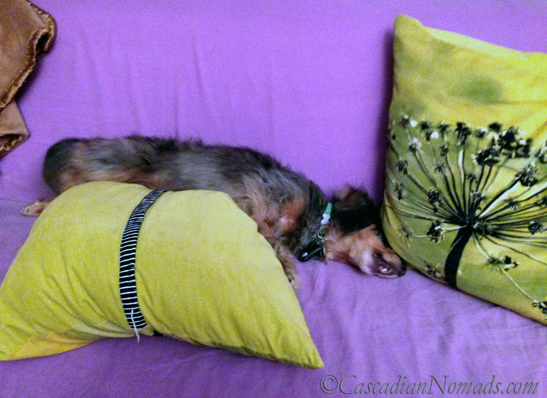 Black and tan dapple long haired miniature dachshund Wilhelm
