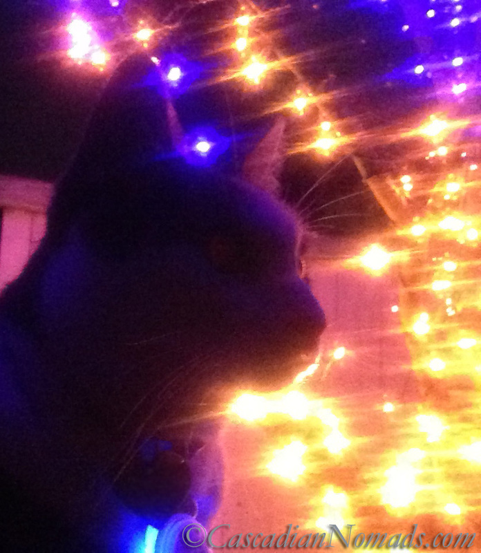 Cat Amelia silhouetted against Christmas lights