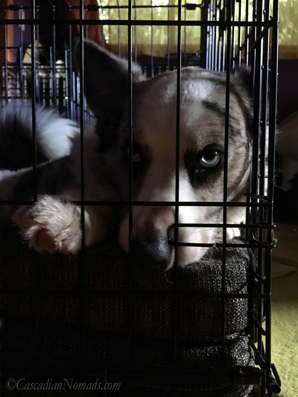 Blue merle cardigan welsh corgi Brychwyn always finds a way to get comfortable in his crate. #DogwoodWeek10 #Dogwood52