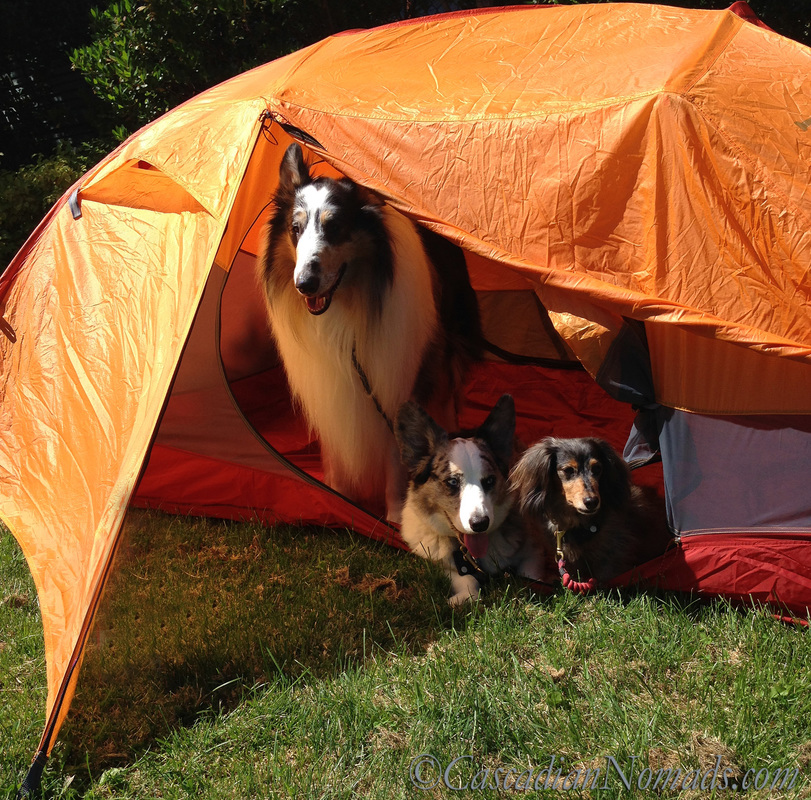 Three traveling dogs in a tent: rough collie Huxley, cardigan welsh corgi Brychwyn and miniature long haired dachshund Wilhelm.