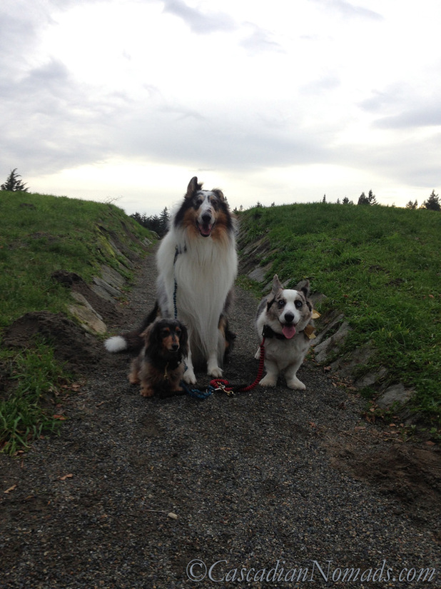 Three dogs on the Winter Solstice trail at Solstice Park in West Seattle, Washington, Cascadia