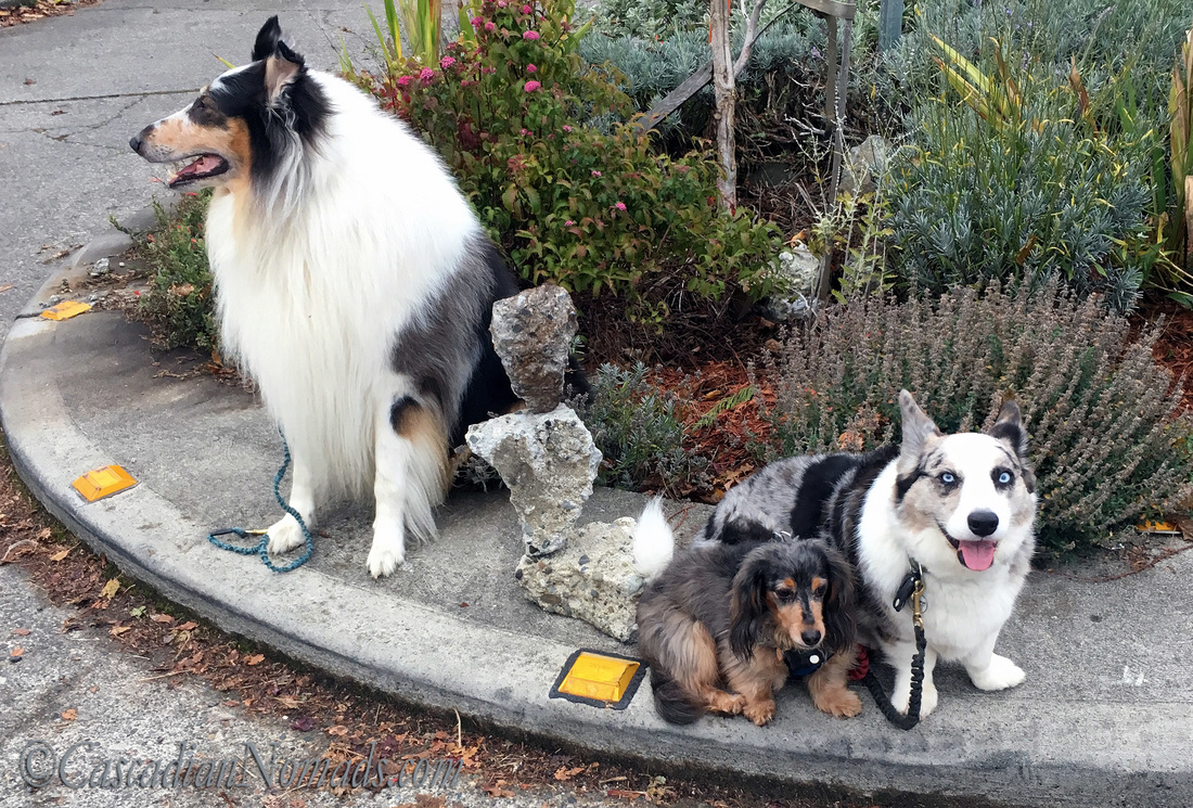 Three dogs with balanced rocks on a traffic circle in West Seattle
