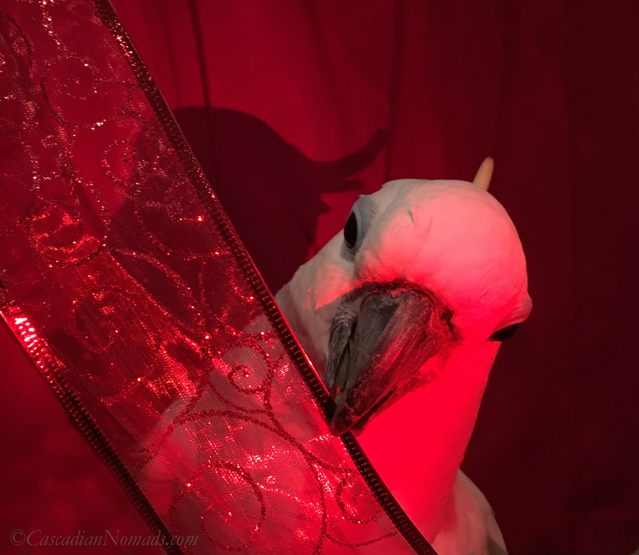 Triton cockatoo Leo manipulating a red ribbon with his beak during an artistic red themed photo shoot for the Dogwood Photography 52 Week Photo Challenge. #DogwoodWeek3 #Dogwood52