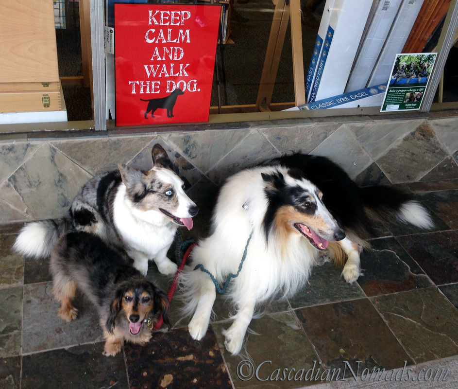 Miniature dachshund dog Wilhelm, Cardigan Welsh corgi dog Brychwyn and rough collie dog Huxley take a #DogWalkingWeek break to pose for an extremely happy fit dogs
