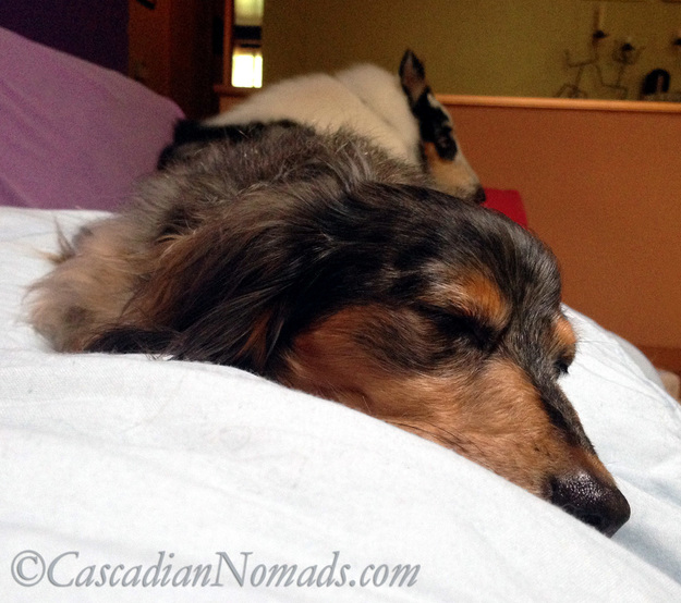 It's a lot of work to help a human feel better; black and tan dapple miniature long haired dachshund dog Wilhelm naps on top of his ailing human.