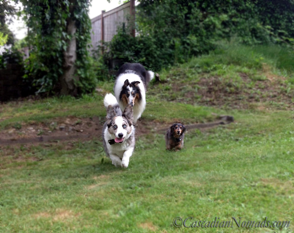 Blue merle cardigan welsh corgi Brychwyn leads the race in front of black and tan dapple dachshund Wilhelm and blue merle rough collie Huxley