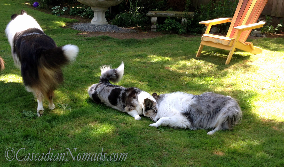 Rough collie Huxley prances away so vlue merle corgi and collie play resumes.