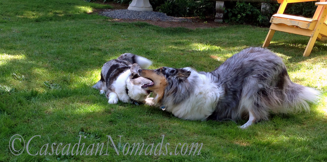 Blue merle rough collie Ginger prepares for bitey face play with corgi Brychwyn.