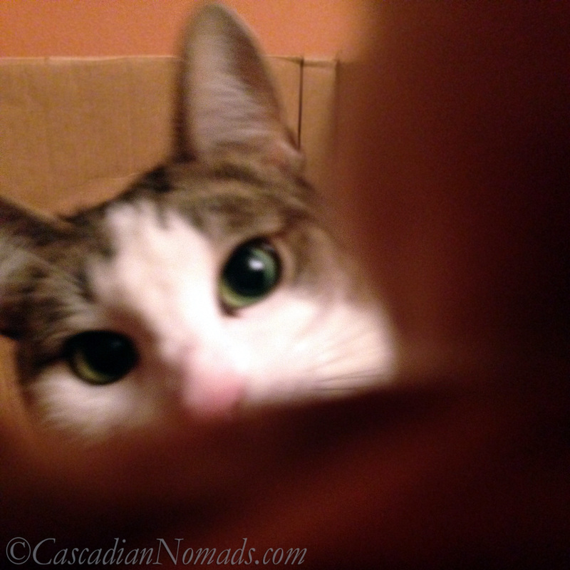 Cat Amelia pushes the selfie button from inside her cardboard box