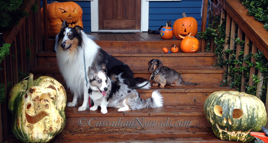 It's The Great Pumpkin Wordless Wednesday: Fun Halloween photographs of dogs, a rough collie, a corgi and a dachshund, with giant jack-o-lantern pumpkins.