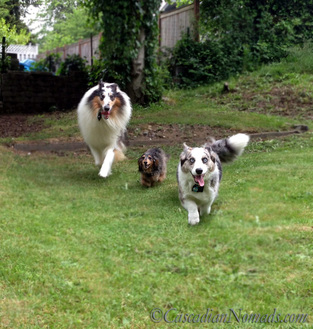 Three dogs, rough colle Huxley, miniature dachshund Wilhelm and cardiagn welsh corgi Brychwyn race towards the camera