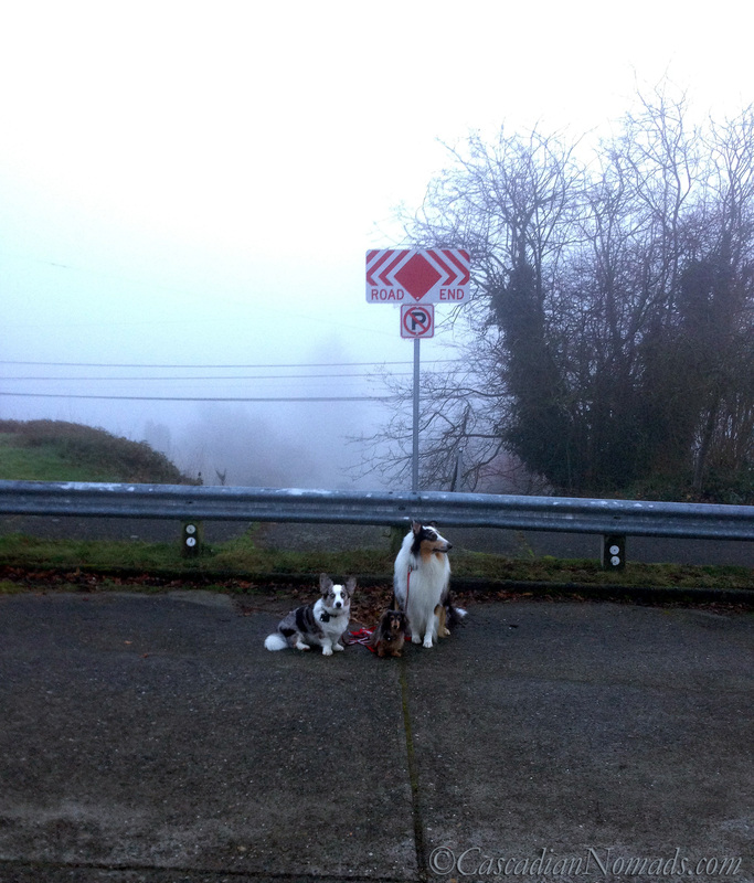 Blue merle cardigan corgi, miniature long haired dachshund and rough collie dog where the road ends in the Seattle fog
