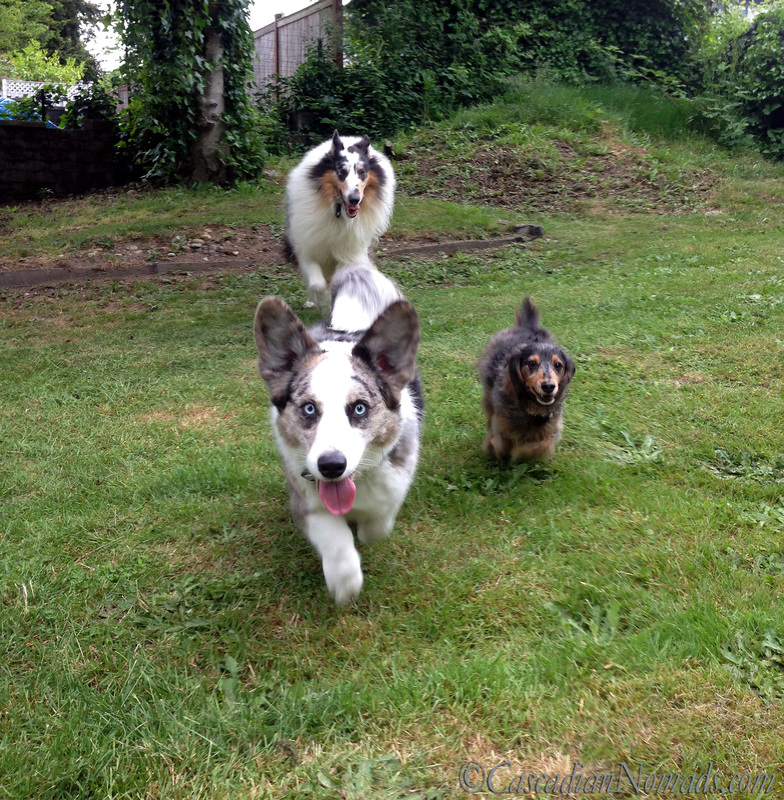 Blue merle cardigan welsh corgi Brychwyn finishes the race ahead of black and tan dapple dachshund Wilhelm and blue merle rough collie Huxley