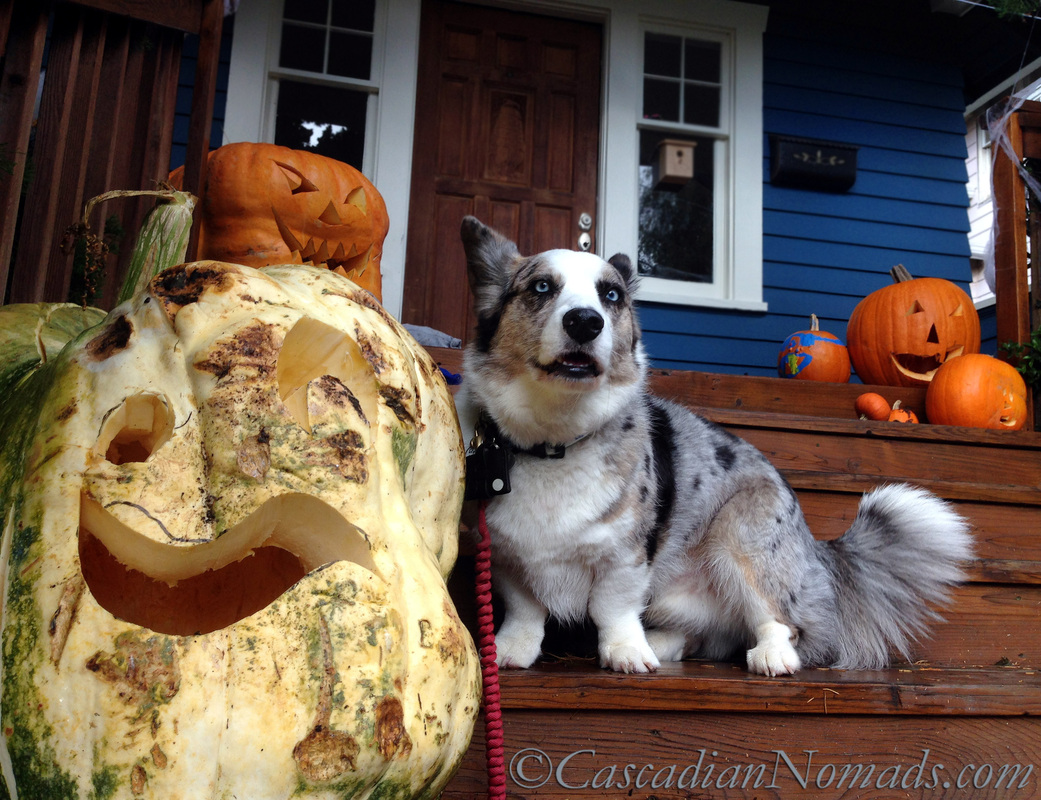 It's The Great Pumpkin Wordless Wednesday: Fun Halloween photographs of a corgi dog with giant jack-o-lantern pumpkins.