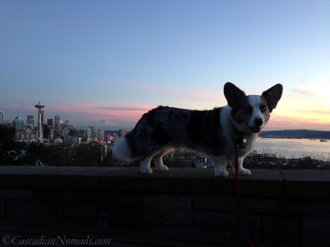 Blue merle cardigan welsh corgi Brychwyn and a late January sunset with the Seattle Space Needle and Mount Rainier in view from Kerry Park on Queen Anne Hill.