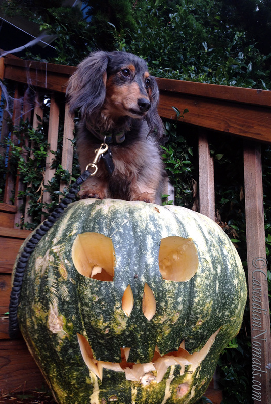 It's The Great Pumpkin Wordless Wednesday: Fun Halloween photographs of dachshund dog with a giant jack-o-lantern pumpkin.