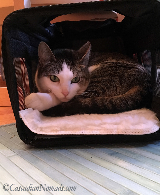 Abyssinian Tabby Cat Amelia starts a nap in a travel crate on the living room floor. #DogwoodWeek10 #Dogwood52