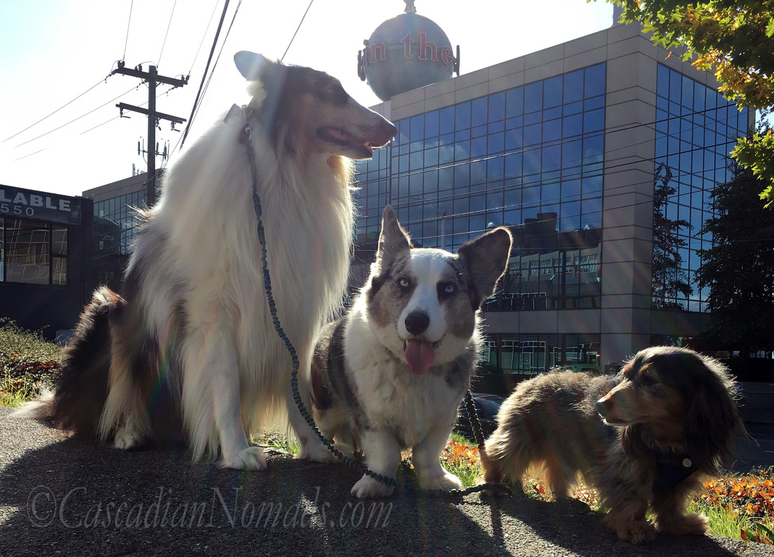 Rough collie dog Huxley, Cardigan Welsh Corgi dog Brychwyn and miniature dachshund dog Wilhelm pose with the giant
