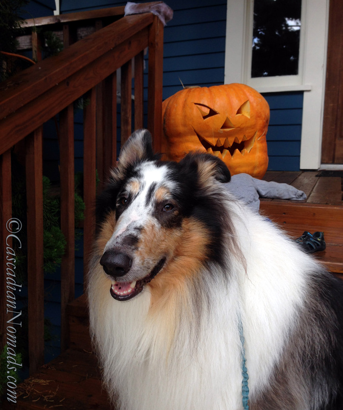 It's The Great Pumpkin Wordless Wednesday: Fun Halloween photographs of rough collie dog with a giant jack-o-lantern pumpkin.