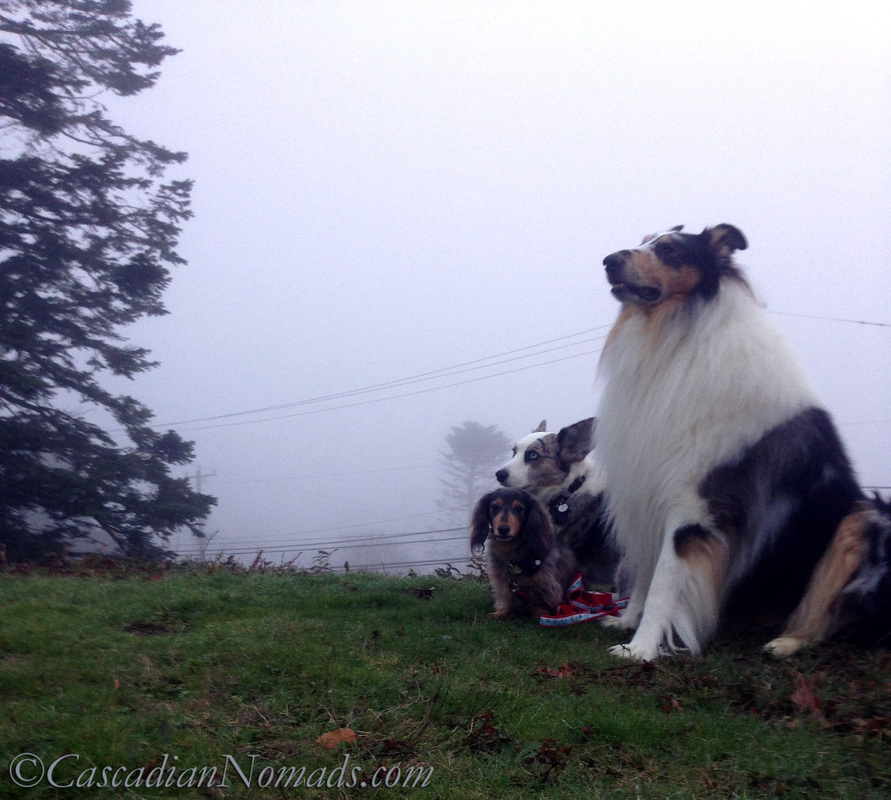 Blue merle cardigan corgi, miniature long haired dachshund and rough collie dog enjoying the Seattle fog