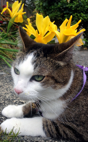 Adventure cat Amelia's selfie photo with a bed of yellow irises