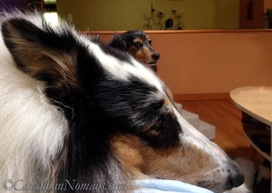 Rough collie dog Huxley and miniature dachshund dog Wilhelm labor atop their ailing human while corgi Brychwyn takes a work break on the floor.