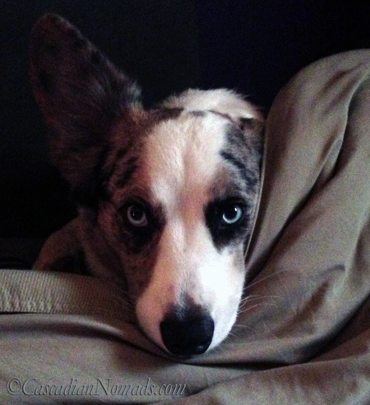More than just a pretty face Limerick Day poet blue merle cardigan welsh corgi Brychwyn