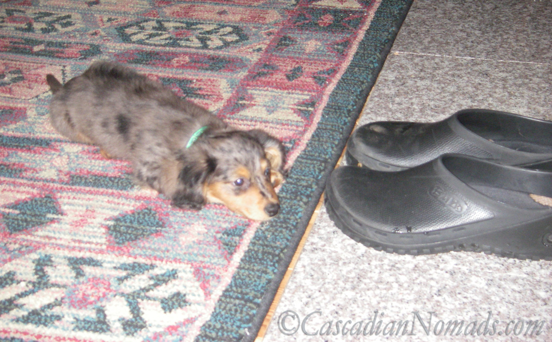Black and tan dapple miniature long haired dachsund puppy Wilhelm.