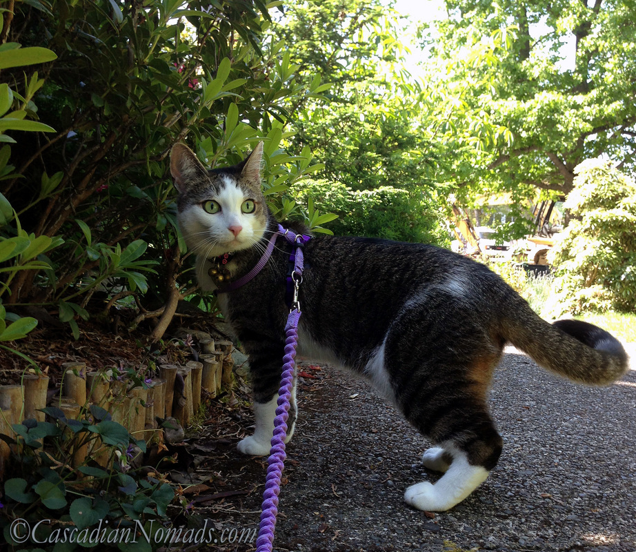 Who Are The Best Travel Buddies? Ask The World's Worst Roommates... Five Pets: Adventure cat Amelia out for a walk in her harness and on her leash.
