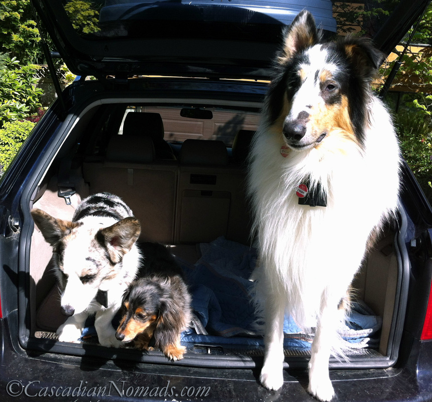 Canine Influenza: It is safe for dogs to travel? Blue merle cardigan welsh corgi dog Brychwyn, dapple dachshund dog Wilhelm and harlequin blue merle rough collie dog Huxley ask