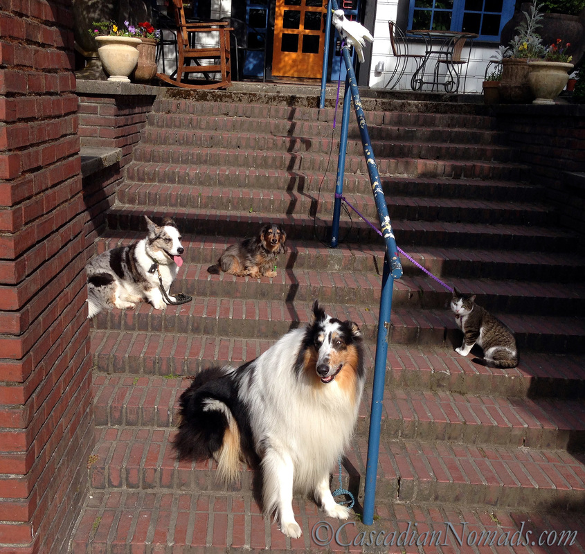 Five pets on the Steps: cockatoo Leo looks below at dachshund Wilhelm, corgi Brychwyn, cat Amelia and rough collie Huxley