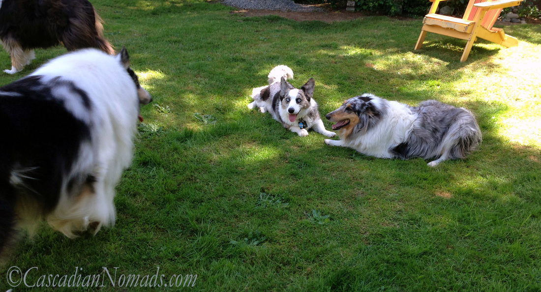 Blue merle corgi and collie playtime stops as rough collie Huxley surveys the scene.