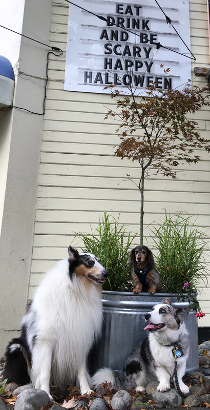 Rough collie Huxley, miniature dachshund Wilhlem and Cardigan Welsh corgi Brychwyn pose for a photo by a scary Seattle sign.