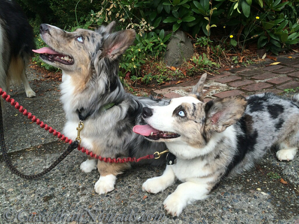 Blue merle cardigan welsh corgis wishing you and your ears the best of health in Bad Poetry Day toasts!