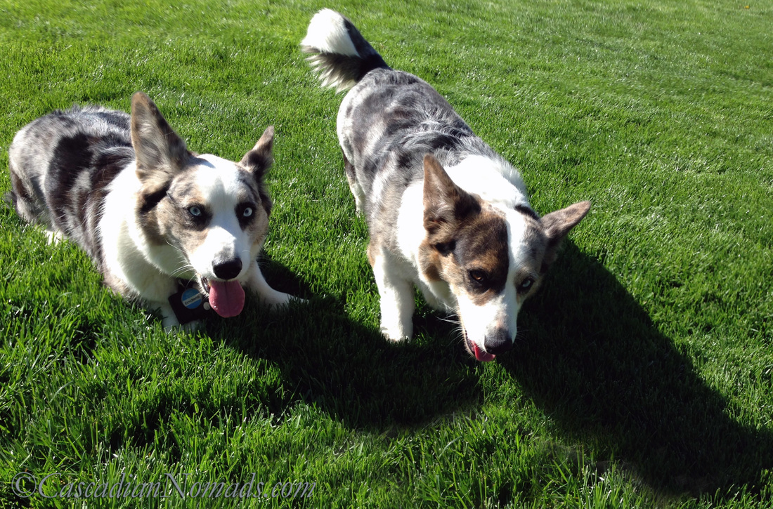 Blue merle Cardigan Welsh corgi Brychwyn with his dam, blue merle cardigan welsh corgi Gabbi.