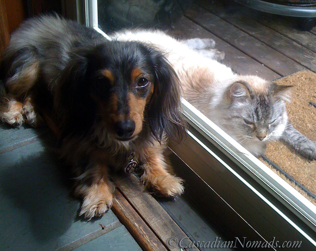 Black and tan dapple miniature dachshund dog Wilhelm on the wrong side of the door from his siamese mix cat buddy Gryphon circa June 2010
