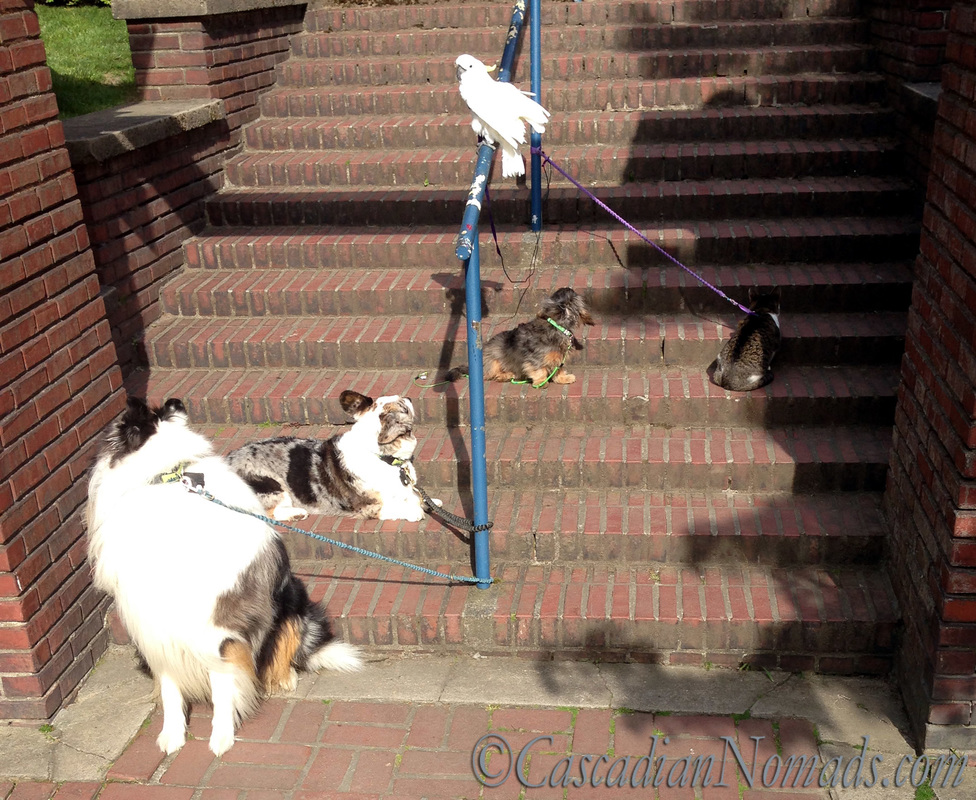 Five pets on the Steps: rough colle Huxley, cardigan welsh corgi Brychwyn, dachshund Wilhelm and cat Amelia look up the steps as cockatoo leo surveys all below
