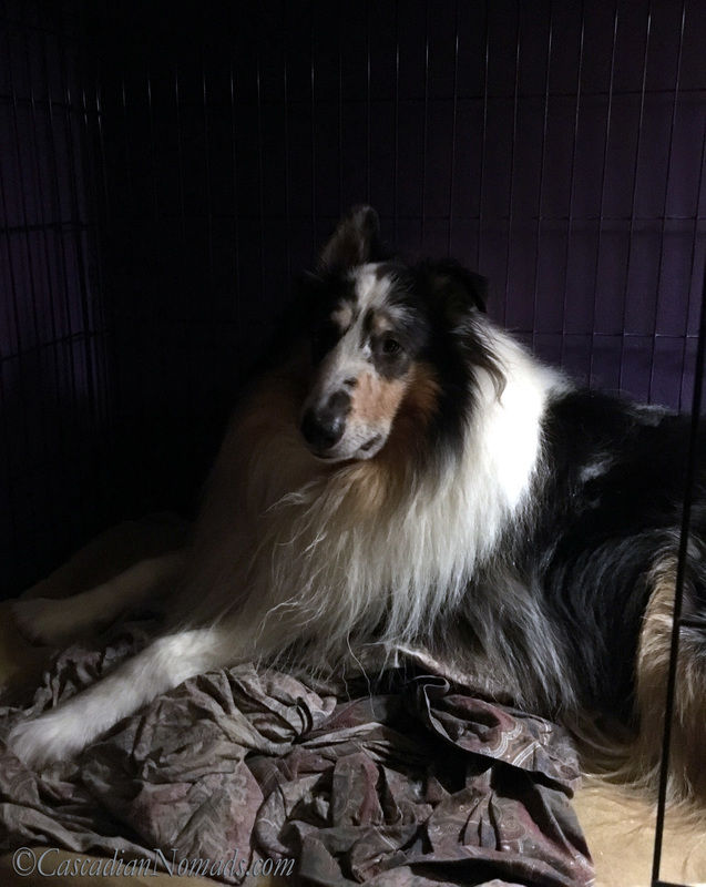 Harlequin blue merle rough collie Huxley lounges in his bedroom crate. #DogwoodWeek10 #Dogwood52