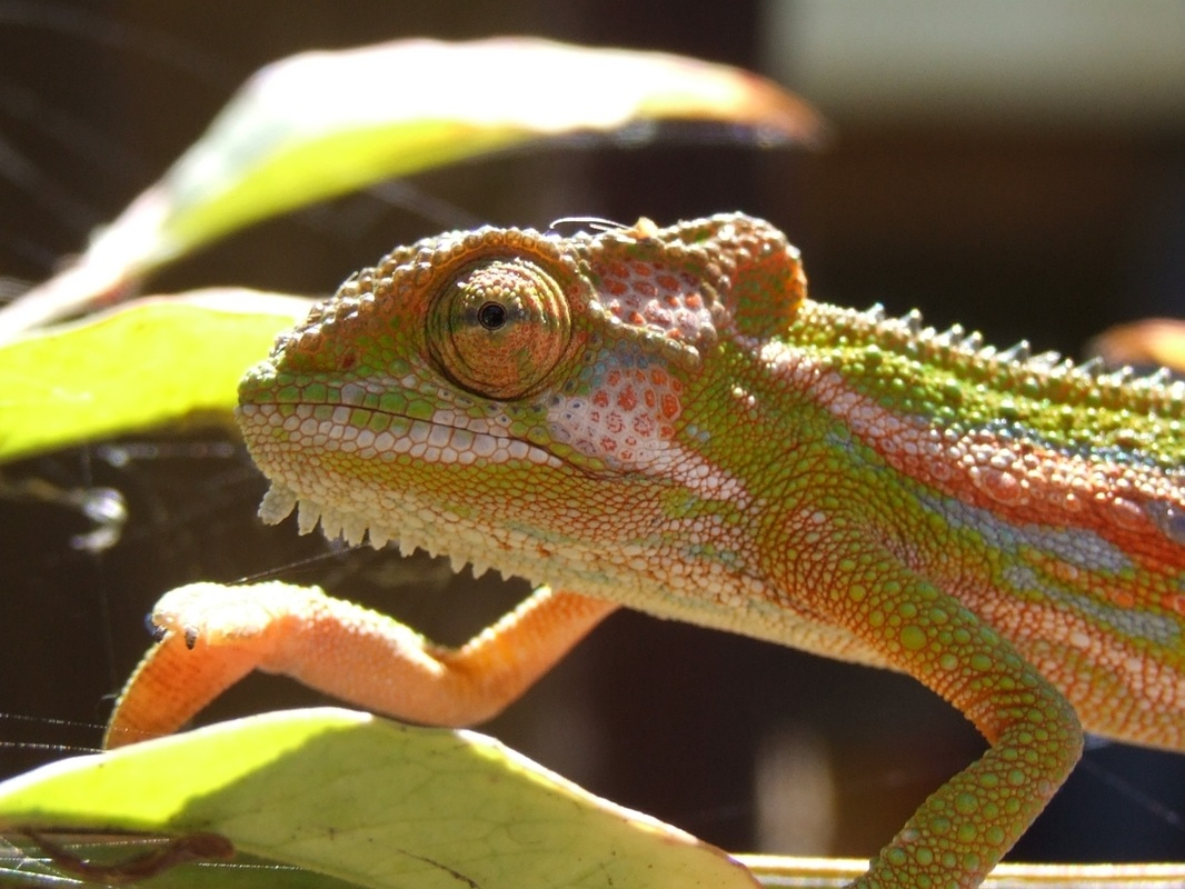 The gorgeous colors of a chameleon, a very difficult reptile pet to keep #ReptileCare