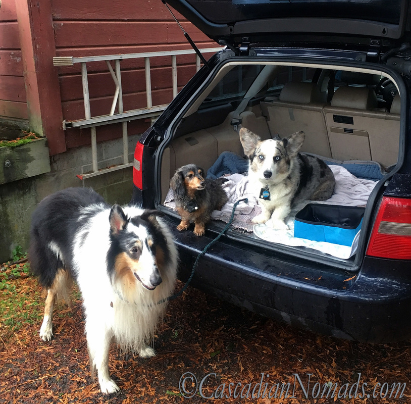 Three traveling dogs in the car: rough collie Huxley, miniature long haired dachshund Wilhelm and cardigan welsh corgi Brychwyn.