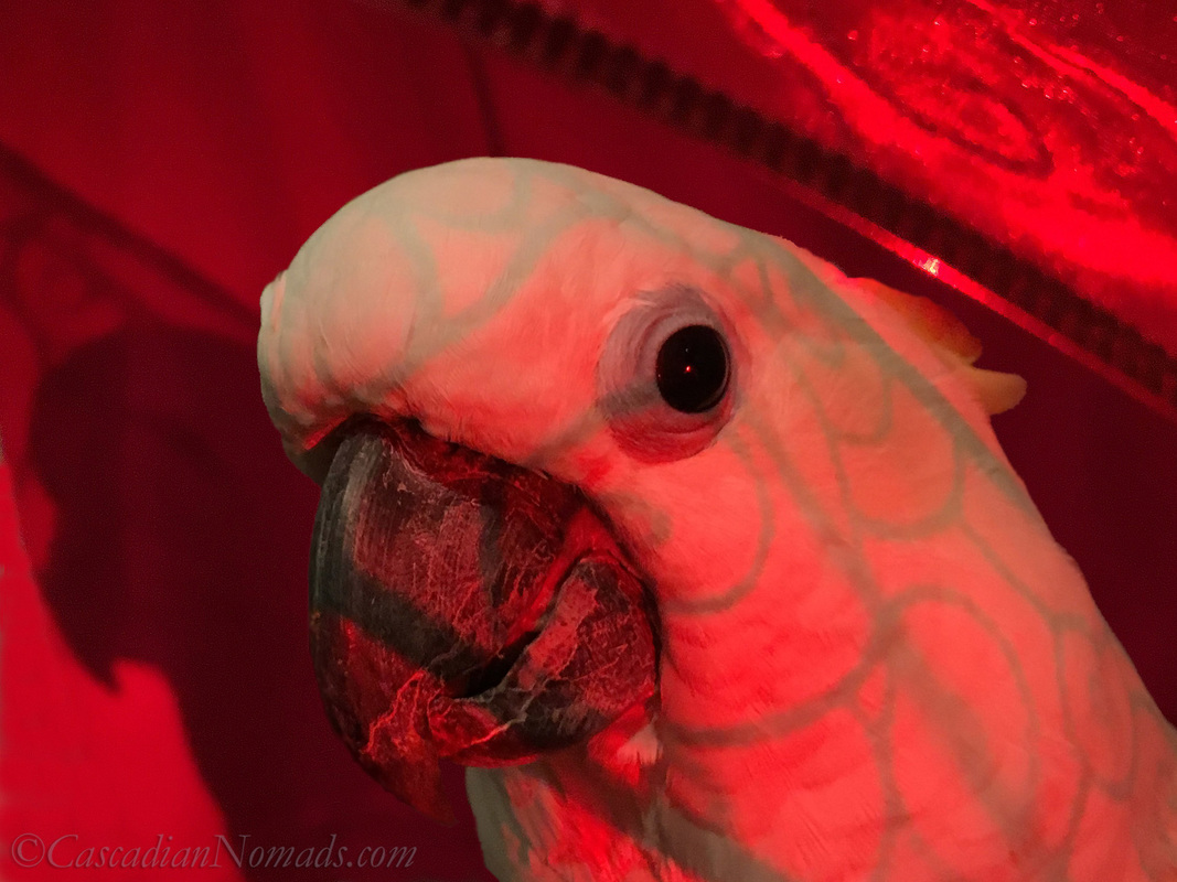 Triton cockatoo Leo hides under a red ribbon during an artistic red themed photo shoot for the Dogwood Photography 52 Week Photo Challenge. #DogwoodWeek3 #Dogwood52