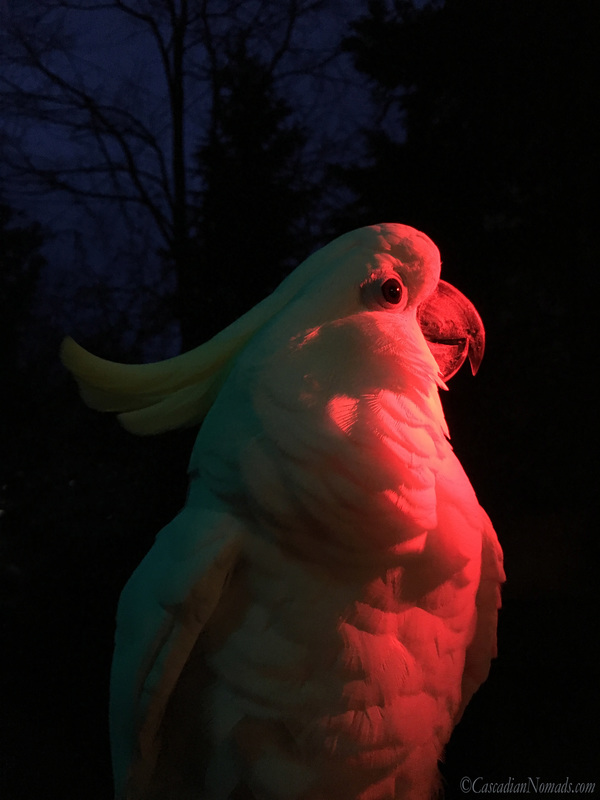 Trtion cockatoo Leo gazes into a red light for an artistic red themed photo. #Dogwood52 #DogwoodWeek3