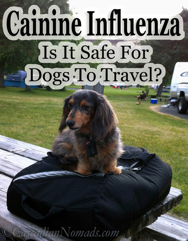 Canine Influenza: It is safe for dogs to travel? Black and tan dapple miniature ;ong haired dachshund dog has packed his bags.