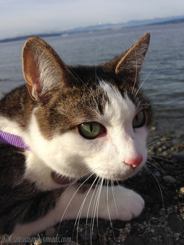 Cat Amelia perches on a seawall above the Puget Sound shore.