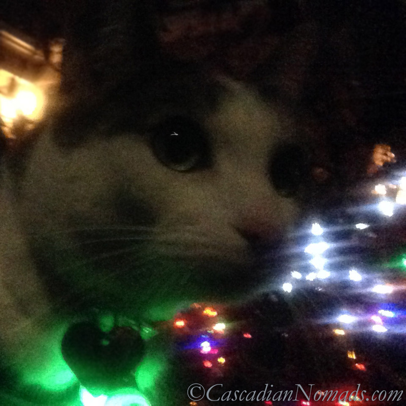 Cat Amelia's green eyes match her safety light and the holiday light display