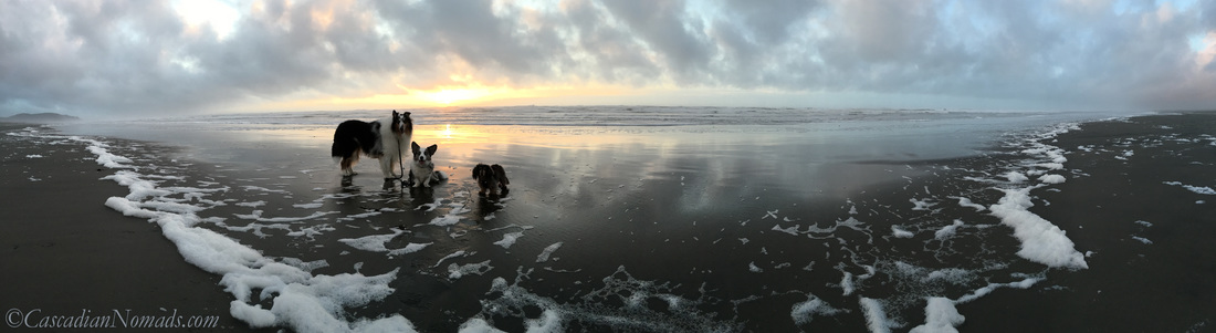 A beautiful Pacific Ocean sunset with three adventurous Pacific Northwest dogs, Cardigan Welsh corgi, Brychwyn, miniature long haired dachshund, Wilhelm, and rough collie dog, Huxley. #DogwoodWeek8 #Dogwood52