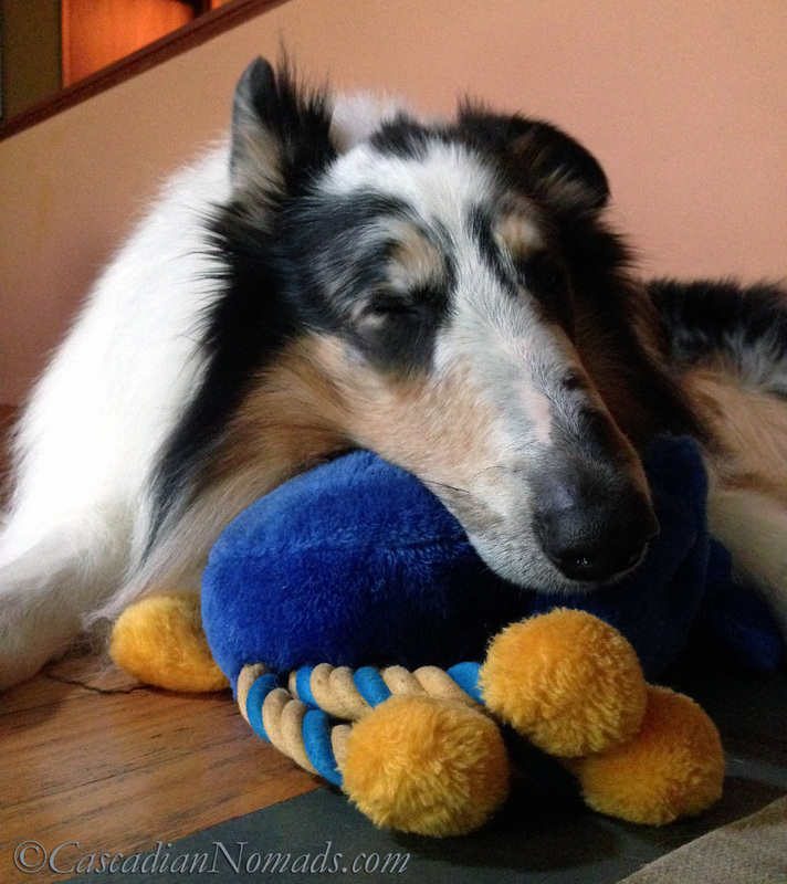 Harlequin blue merle rough collie Huxley using a toy as a pillow