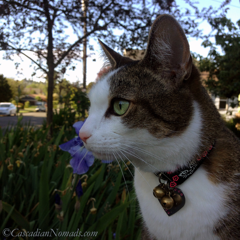 Adventure cat Amelia's sefie photo with a blue iris flower