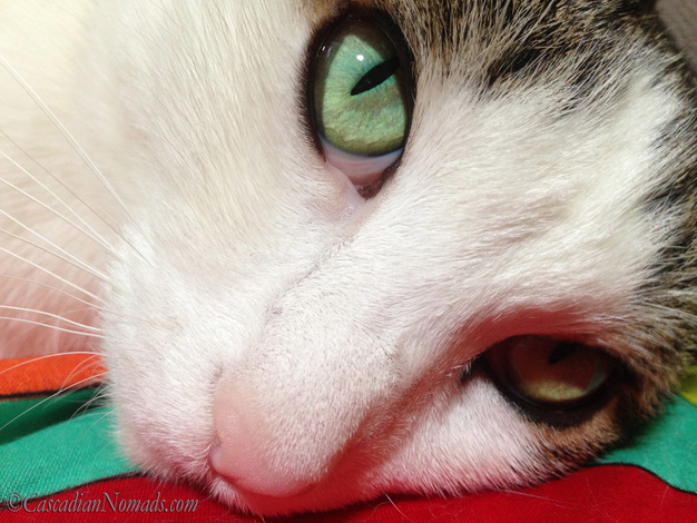 Beautiful cat Amelia's close up selfie photo featuring her gorgeous green iris